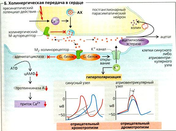 Холиномиметические и холиноблокирующие средства holinomimeticalkie and anticholinergic agents