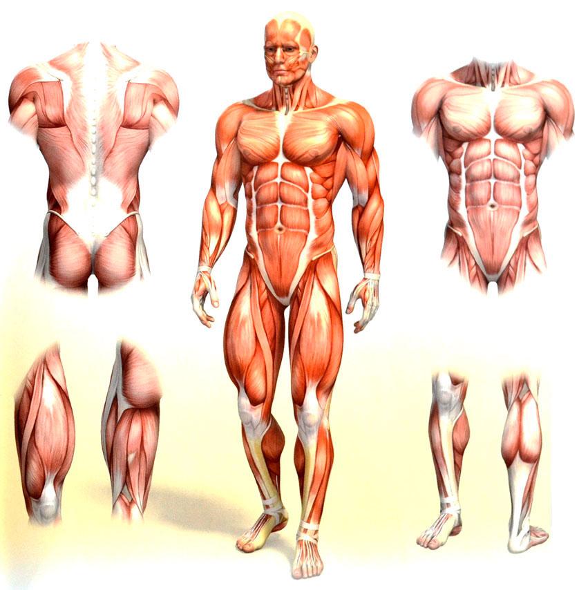 Muscle anatomy bodybuilding